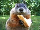 Le sandwich de la marmotte