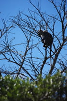 Le singe guetteur
