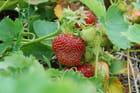 le temps des fraises....