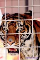 Le Tigre Cirque Zavatta Chennevières sur Marne septembre 2011