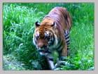 Le tigre de Lyon