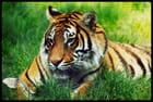 Le tigre et le papillon