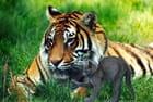 Le tigre le chat et la grenouille