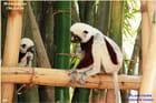 Lémuriens Sifaka, endémique de Madagascar - Sifaka lemurs endemic to Madagascar