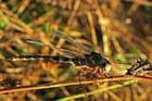Les ailes d'or