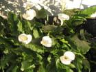Les Arums de mon jardin