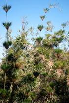 les bambous calumets Mastus Borbonicus