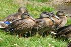 Les canards des Alpes d'Huez