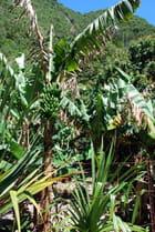 les champs de bananiers