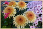 Les chrysanthèmes ...