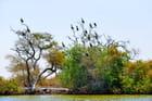 Les cormorans semblent fleurir sur les arbres...