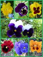 Les dernières pensées de mai 2018 avant plantation des fleurs estivales