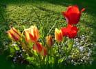 Les dernières tulipes en fleurs