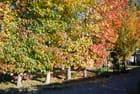 les érables en automne