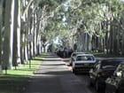 Les eucalyptus de King's Park