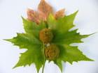 Les feuilles de platanes et ses bogues