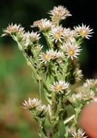 les fleurs de l'écheveria derenbergii