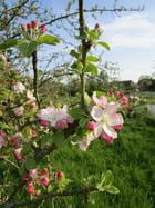 Les fleurs de pommiers qui s'épanouissent
