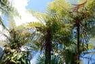 les fougères arborescentes