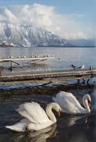 Les immaculés et impeccables cygnes du lac Léman