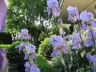 Les Iris dans mon entrée de jardin ..