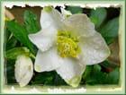 Les larmes d'une rose de noël