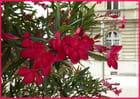 Les lauriers roses du parvis de la cathédrale