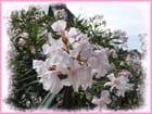 Les lauriers roses du parvis de la cathédrale - 2