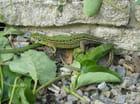Les lézards verts
