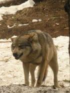 Les loups du parc alpha 4
