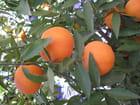 Les mandarines de mon jardin