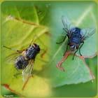 Les mouches (FA)