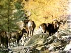 Les mouflons du Mercantour