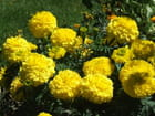 Les oeillets jaunes