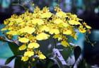 les orchidées jaunes