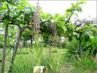 Les orchis bouc