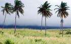 les palmiers dans le vent de Saint Kitts