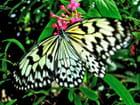Les papillons de Saint Martin