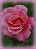 les perles d'eau sur la rose