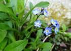 Les petits myosotis bleus
