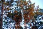 les pins dans la lumière du soleil couchant