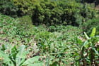 les plantations de bananiers