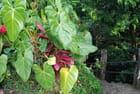 les plantes de la forêt de la Dominique