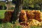 Les pommes à cidre...