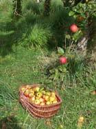 Les pommes faisaient rouli-roula!!