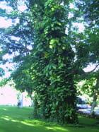 Les pothos grimpent aux arbres