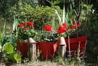 les pots de géraniums