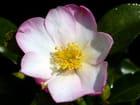 Les premières fleurs de camellia
