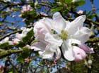 Les premières fleurs du vieux pommier (18/04/2015)