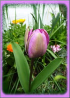 Les premières tulipes commencent à fleurir
